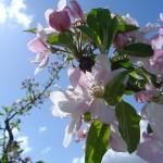 Erfahren Sie mehr über die Apfelanbaugebiete in Südtirol!